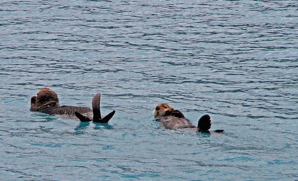 A couple of otters enjoying a nice swim in the frigid waters of Prince William Sound.