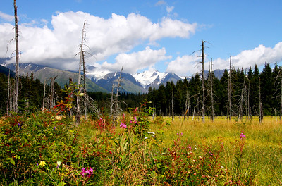 8.26.15: Along the Girdwood to Bird trail is this wonderful view of the Chugach Mountains with various wildflowers in the foreground. It has been a great summer in Alaska.