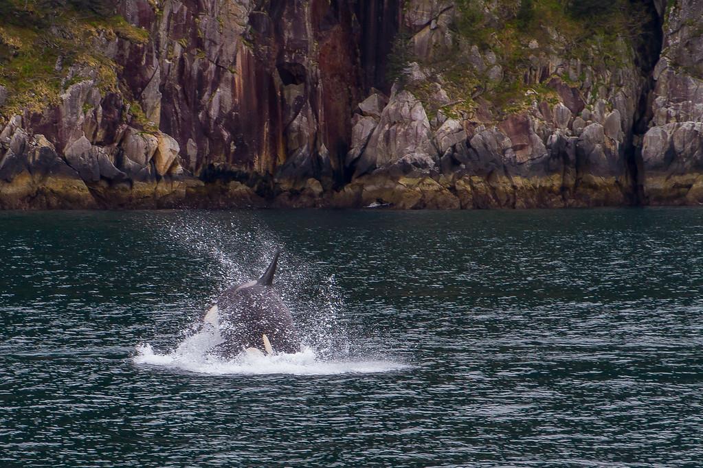 Orca Splash