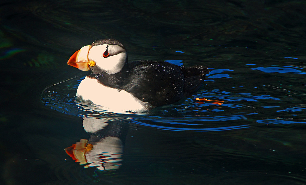 A Puffin cruises by our boat in Resurrection Bay, Alaska
