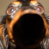03-20-2011<br /> <br /> UP CLOSE & PERSONAL!<br /> <br /> I was testing out my new 24-80mm lens the other day and was trying to take a pic of my Dachshund Reilly....she thought it would be a good idea to KISS the lens!  Anybody got a lens cloth?<br /> <br /> Have a good one! <br /> Jilly