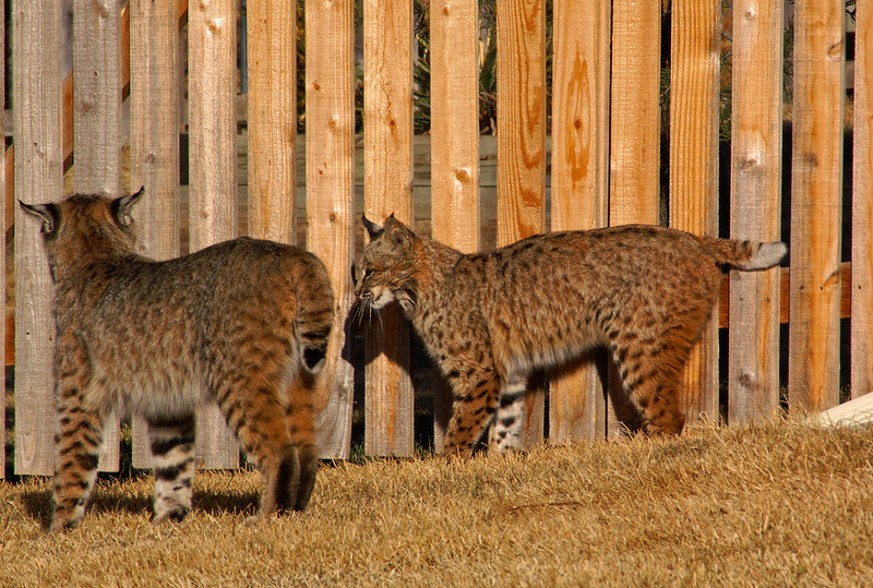Living in Colorado has some benefits, I was fortunate to find these two Bobcats in my front yard one morning. It was a good way to spend a couple of hours behind the camera.