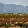 11-08-2009<br /> <br /> Fields and Fields of Roses!<br /> <br /> This is from AZ trip... field of roses... White Tank Mts in background.<br /> <br /> Have a great weekend~!<br /> Jilly<br /> <br /> Just a add on note... these flowers were on both sides of the road for a mile or so, the smell in the air was AMAZING.  This field was a mixed patch, but others were large patches of white roses, red, etc.  Truly beautiful!