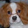 """11-07-2009<br /> <br /> """"Charlie""""<br /> Cavalier King Charles Spaniel<br /> <br /> My new """"granddog""""  4 mo. old!  What a sweet boy!<br /> <br /> Crazy busy at the studio this weekend... hope to get out this week for some real """"fun"""" shooting!<br /> <br /> Have a great weekend everyone!<br /> Jilly"""