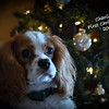 """11-29-2009<br /> <br /> """"Charlie""""<br /> <br /> Had a photo shoot with Jenn, Brian and The Boys today.  Here is Charlie's Christmas portrait :)<br /> <br /> Have a great week everyone!<br /> Jilly"""