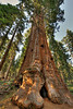 A redwood (Sequoiadendron giganteum) at Grant Grove in Kings Canyon National Park.