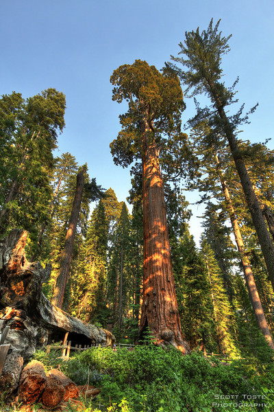The Fallen Monarch and Robert E. Lee tree in Grant Grove, Kings Canyon National Park. (Sequoiadendron giganteum)