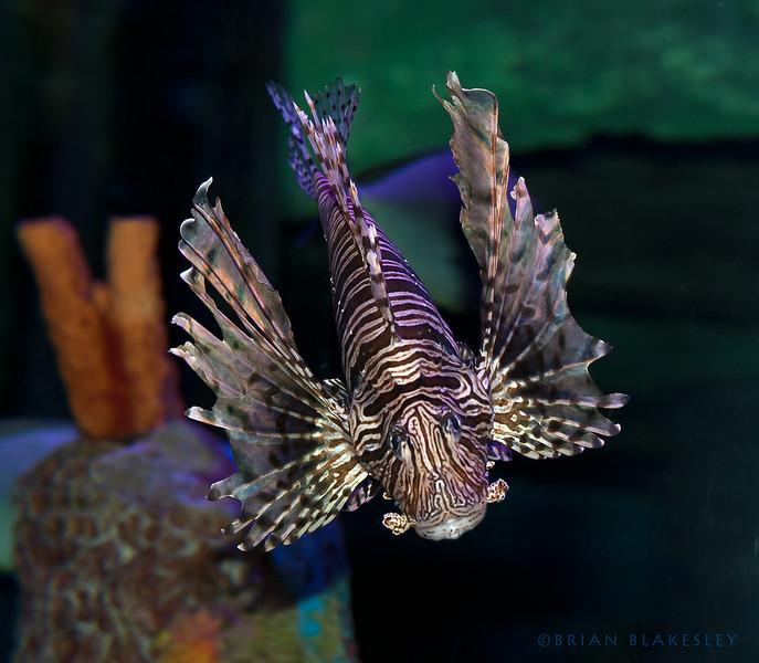 A Lionfish. <br /> <br /> Taken 2012.06.17, Tempe, AZ, USA