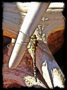 Dragonfly on Elk Antlers in Jackson Hole, WY. 9.12