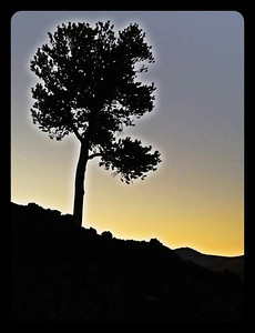 Sunset on the Limber Pine at Craters of the Moon, Idaho. 10.12