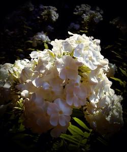 White flowers at UU church, Idaho Falls, ID 8.12