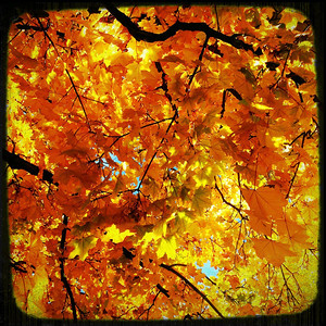 """""""How beautifully leaves grow old.  How full of light and color are their last days.""""  ~John Burroughs"""