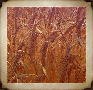 grain ready for harvest. Idaho . 8.12