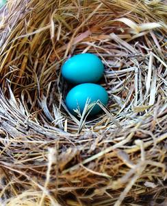Robin eggs nest, Idaho 6.13