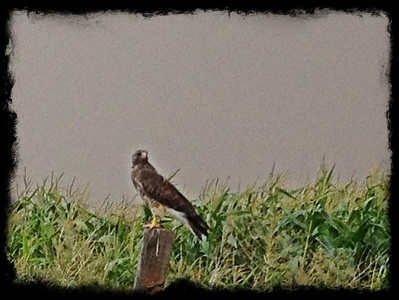 Hawk in the cornfield. Idaho 8.12