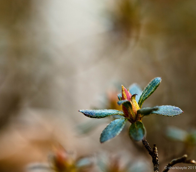 January 31, 2011 - Signs of spring? I spotted some very tiny buds starting to emerge on this bush in front of my neighbors place.  #365Project Day 31 @sharkbayte