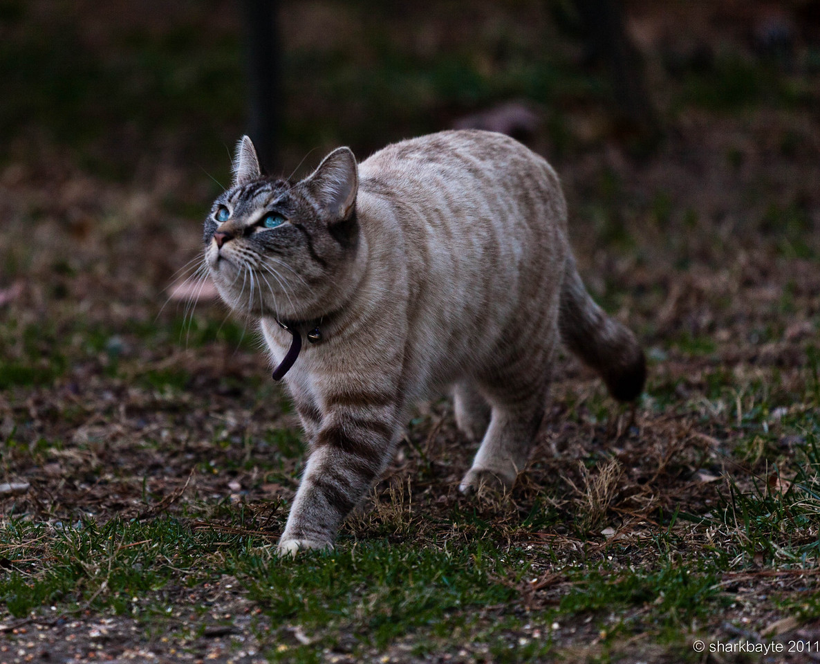 February 20, 2011-Eyes on the prize. Nova, my neighbors cat watching the birds above on the feeder. Moments after this shot Nova sped up and tries for a bird, but she was too slow. Score one for the birds! Day 51 #365Project @sharkbayte
