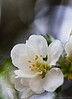 "March 21, 2011-Spring is finally here! This is from a sargent crab apple malus ""sargentii"". 80:365 @sharkbayte"