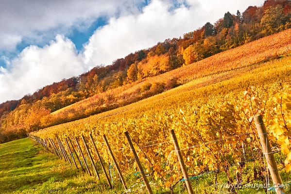 Vineyards in the morning light