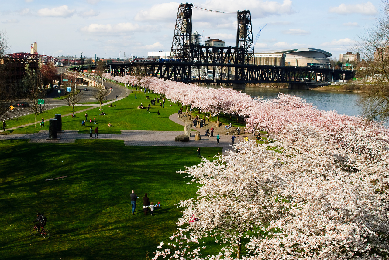 3.23.13  Cherry blossoms along the waterfront Portland, Ore.  notes:  Steel Bridge in the background, (with MAX, our light rail, going across the top deck).  The building off to the right with the curved roof is the Rose Garden, our big arena.