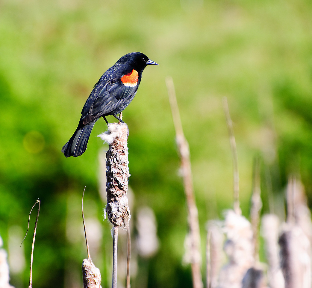 5.12.12  Red-Winged Blackbird