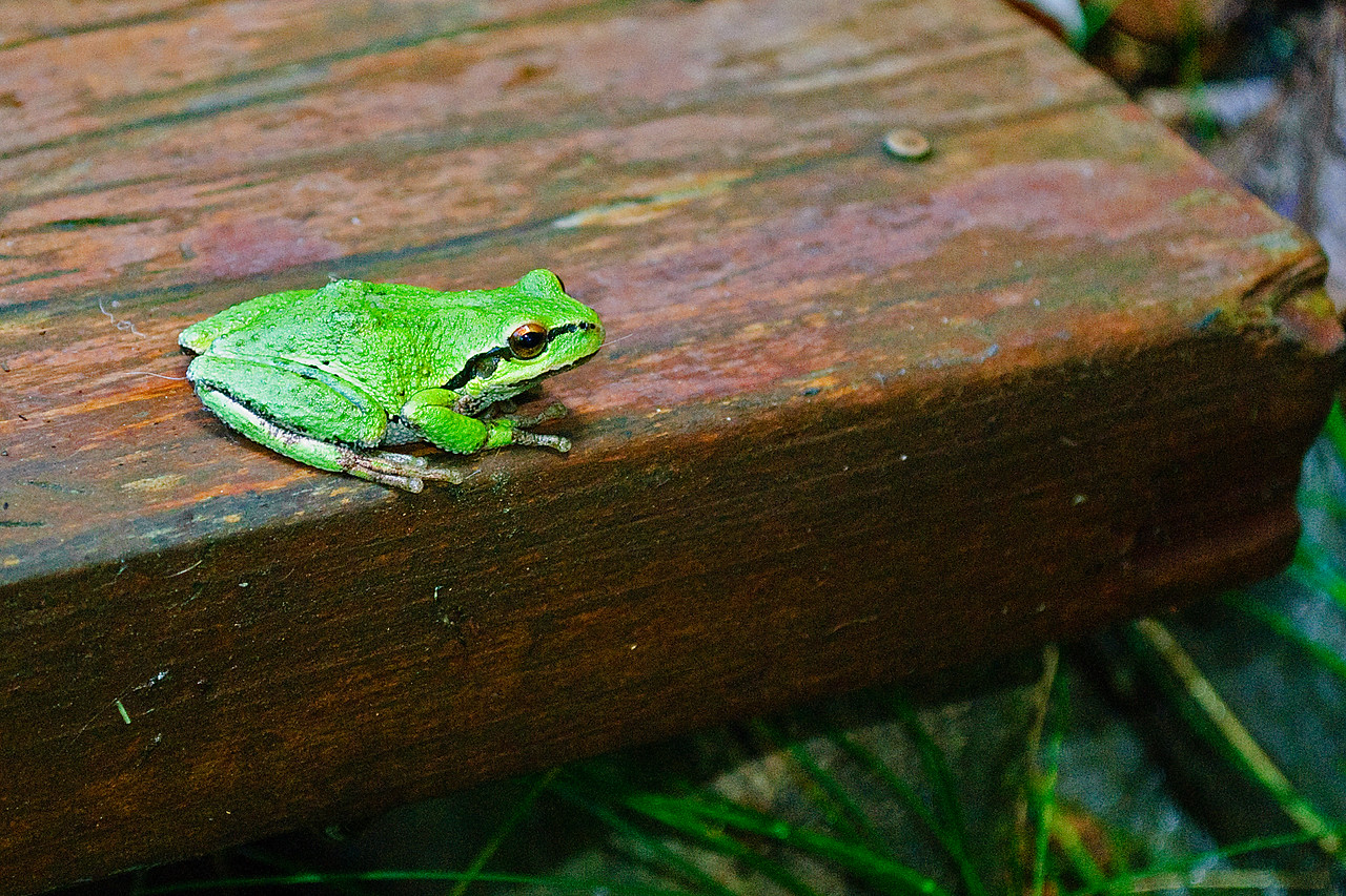10-04-11 Tree frog on the deck
