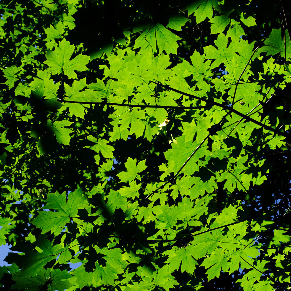 7-31-11  Leaves  I was out hiking yesterday and happened to look up and see this canopy of maple leaves, backlit from the sun, with the silhouettes of leaves above.