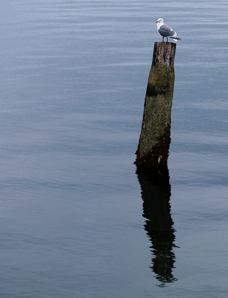 4.30.12  Seagull on a Piling