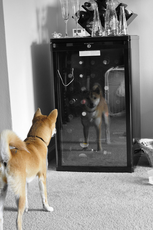 """What a foxy dog. <br /> <br /> JD, didn't know what to think, he decided to just stare at the """"other"""" dog for a while. He is a shiba inu. <br /> <br /> Thank you again for all the comments."""