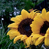 Sunflowers in the Rain (6/4/2010)<br /> <br /> It rained most of yesterday but I went out during a brief rain break and visited the sunflowers. I guess the moth/butterfly had the same idea.<br /> <br /> I wish you an enjoyable weekend,<br /> -Bob