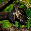 Fruit Bat (8/12/2010)<br /> Bats are scary to me, especially when they have big teeth. How about to you?<br /> -Bob