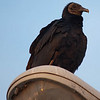 Turkey vulture (3/5/10)<br /> <br /> Driving home from work the other day I saw this turkey vulture on a light post in outside our subdivision.  He sure is an ugly bird!  I wish I had gotten a chance to back up and get a different angle to get his feet.