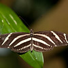 Zebra Longwing (6/24/2010)<br /> <br /> I was trying to take an extra-ordinary photo last night of a cheese grater but after 80 shots or so it turned out less the ordinary. This is not the cheese grater but instead a Zebra Longwing Butterfly from the Cockrell Butterfly Center. Hope you have a great day.<br /> <br /> -Bob<br /> p.s. Thanks for all the comments on yesterdays chocolate!