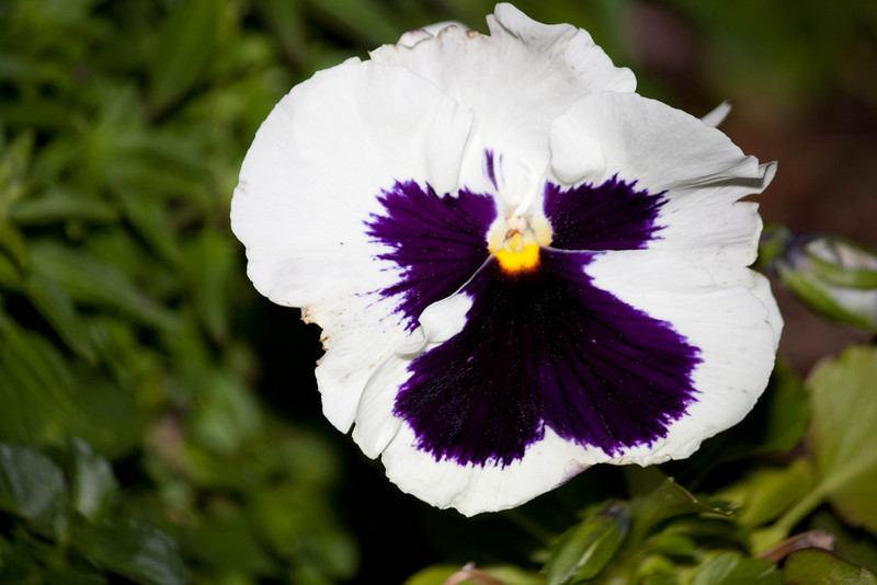 Purple Pansy (3/3/10)<br /> <br /> The flowers always look like a bearded man to me.