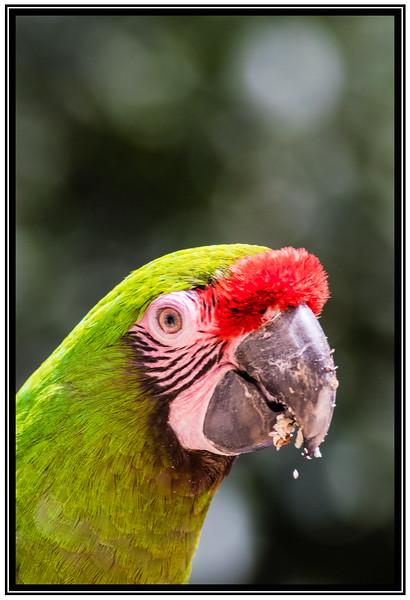 Military Macaw