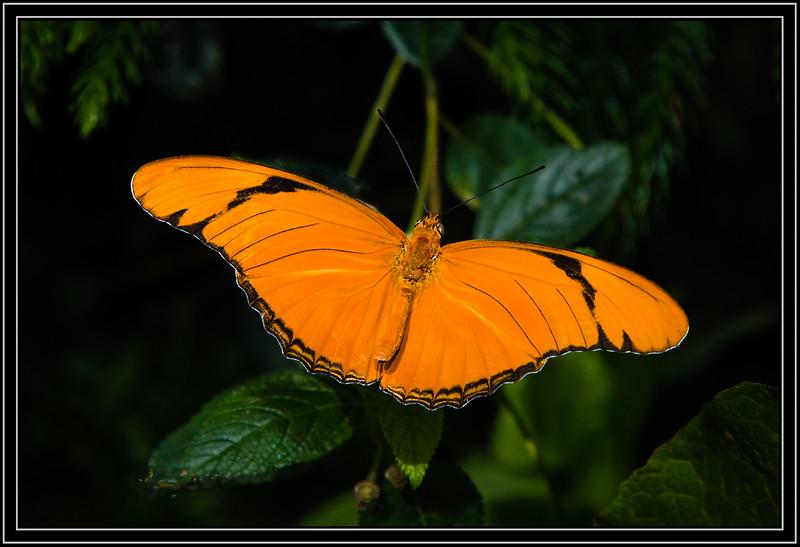 Butterfly Butterfly - Julia Heliconian