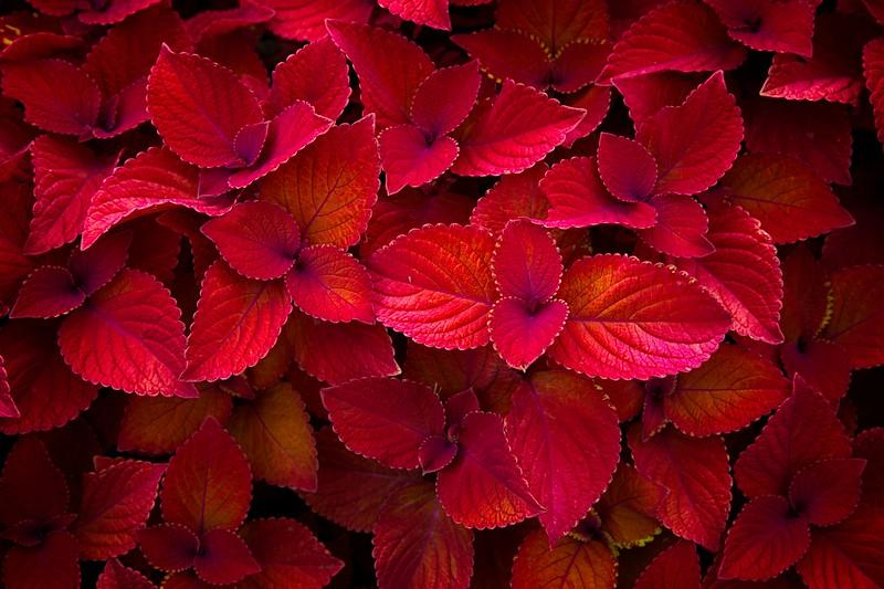 Coleus - Redhead