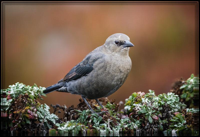 Brewer's Blackbird, Female