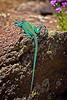 Mexican Blue-Collared Lizard