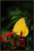 Butterfly - Apricot Sulfur