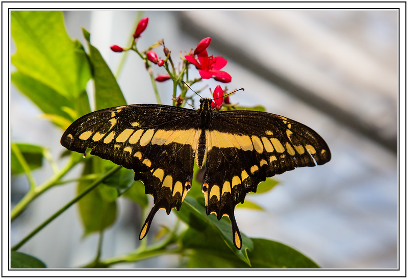 """Alphabet Challenge – """"B"""" is for Butterfly"""