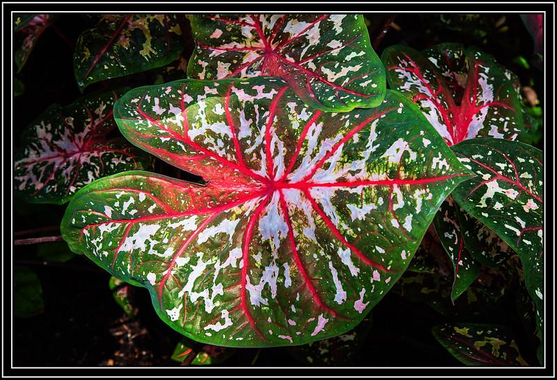 Heart shaped fancy leafed Caladium