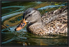 Mottled Duck in Gull Lake