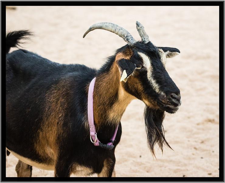 Arapawa Island Goat