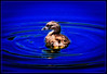 Pied-Billed Grebe Encircled