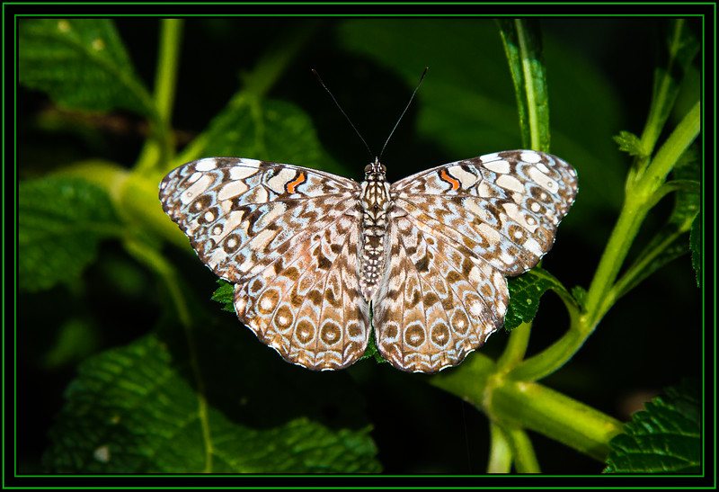 Butterfly - White Peacock