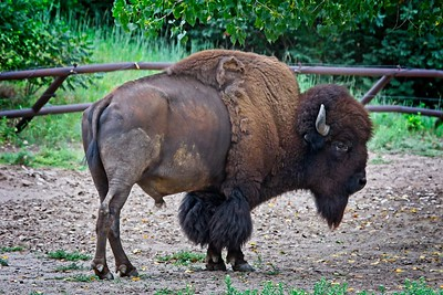 American Plains Bison