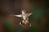 Rick's POTD  -  Hummingbird