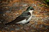 Tree Swallow, Female