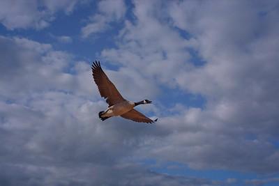 Rick's POTD  -  Canada Goose